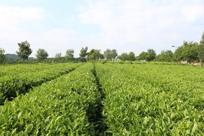 pohled na rostoucí čajovníky v číně